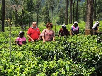 Teegärten von Sri-Lanka